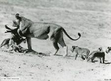 """LES MERVEILLES..."" (TRUE LIFE ADVENTURES) DISNEY LION CUB PHOTO CM"
