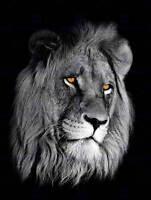 AFRICAN LION PORTRAIT CAT PHOTO ART PRINT POSTER PICTURE BMP2390B