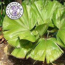 Rare Vanuatu Fan Palm Tree - LICUALA GRANDIS - 4 Seeds - UK SELLER