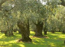 12 Seeds From The Greek Ancient Olive Tree - Olea Europaea **Guaranteed Seeds**