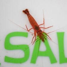 50 Live Peppermint Shrimp - Eats Aiptasia