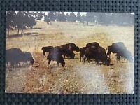 BISON WISENT BUFFALO alte Ansichtskarte / old picture postcard c2333