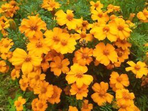 1/4 oz Orange Marigold Seeds, Single Bloom Marigolds, Heirloom Seeds 2000ct