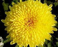 Chrysanthemum 100 Seeds Yellow Morifolium Flowers Plant Garden Big Blooms Potted
