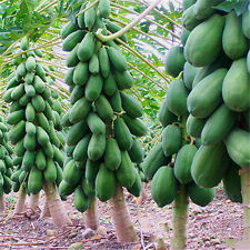 8Pcs Maradol Papaya Seeds Home Garden Vegetable Fruit Tree Plants Seeds Outdoor