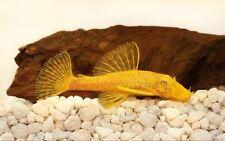 10 (dix) x ancistrus SP. or (poisson-chat)