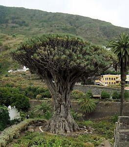Dracaena Draco - DRAGON'S BLOOD TREE - 10 x Fresh Tropical Seeds
