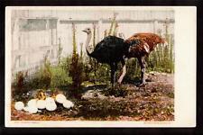 c.1906 Ostrich pair watching over eggs bird postcard