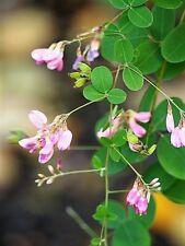 100 BUSH CLOVER Lespedeza Bicolor Bushclover Shrub Pink Purple Flower Seeds