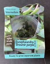 "Live Aquatic Plant | Bucephalandra ""Brownie Purple"" | Tissue Culture"