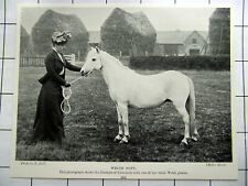 c1901 DUCHESS OF NEWCASTLE With One Of Her White Welsh Ponies