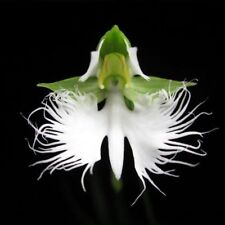 Bulk Seed 100 White Egret Orchid Seeds Rare For Home Garden Seeds S069