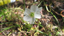 Drosera binata- Forked Sundew