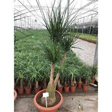 Elefantenfuß  Beaucarnea recurvata Flaschenbaum Wasserpalme Zimmerpflanze