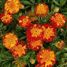 Marigold-  Harmony - Tagetes Patula- 25 Seeds