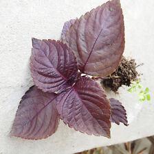 50 Purple Perilla Seeds Perilla Frutescens Common Perilla Organic Vegetables