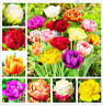 100 PCS Seeds Rare Double Tulip Flowers Bonsai Tulipanes Plants Free Shipping N