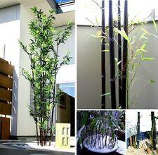 Schwarzer Bambus Sichtschutz für den Balkon Garten die Terrasse winterhart Düfte