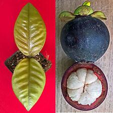 Purple Mangosteen Garcinia Mangostana Florida Tropical King Fruit Pot Tree Plant