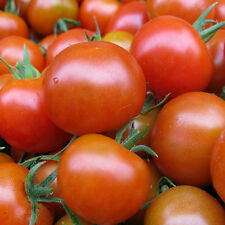 Large Red Cherry Tomato Heirloom Seeds - Non-GMO - Untreated - Open Pollinated!
