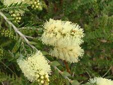 Melaleuca squarrosa - Scented paperbark - 15 seeds