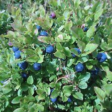 aromatische Früchte - 100+ Samen Wald-Heidelbeere -Blaubeere-Vaccinium myrtillus