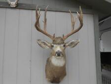 "Crazy freak 7x5 Colorado Mule Deer Rack 178-3"" antlers whitetail sheds taxidermy"