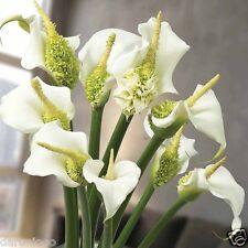 1 CALLA LILY WHITE GIARDINAGGIO LAMPADINA Corm Bellissimo Primavera Estate Fiore perenni