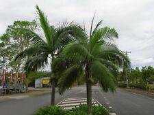 Hurricane Palm 10 Seeds - Dictospermum album var rubrum