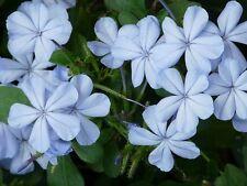 5 PZ Pianta di Plumbago Pianta rampicante gelsomino azzurro vaso 7 piombaggine