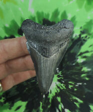 Megalodon Sharks Tooth  2 11/16'' inch NO RESTORATIONS fossil sharks teeth tooth