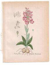 Antique Botanical Print Orchis Morio Artus-Kirchner-1876