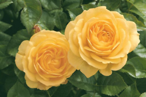 Julia Child Rose seeds  10 per pack USA grown & shipped
