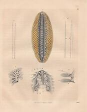 Amphinome rostrata Seemaus Aphrodita aculeata LITHOGRAPHIE von 1845 Ringelwürmer