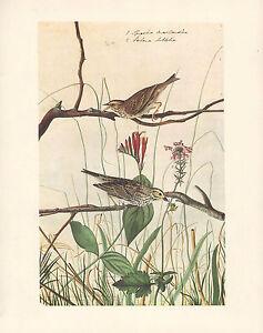 VINTAGE JOHN JAMES AUDUBON BIRD PRINT ~ SAVANNAH SPARROW