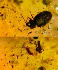 unknown beetle&millipede Burmite Myanmar Burma Amber insect fossil dinosaur age