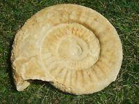 - Fossili - AMMONITE (75c) marocco