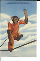AY-319 - Chimpanzee Ringling Bros Barnum & Bailey Circus Linen Postcard Sarasota
