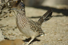 Roadrunner Taxidermy Reference Photo Cd