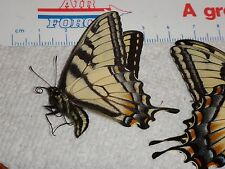 Minature Papilio glaucus Spring Male Tiger Swallowtail Butterfly IN #0872-4