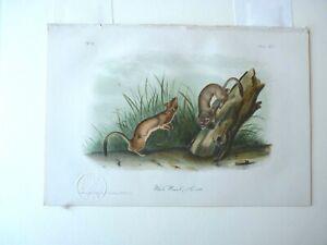 White Weasel Audubon Color Print Octavo Edition Plate #LIX 1850-70