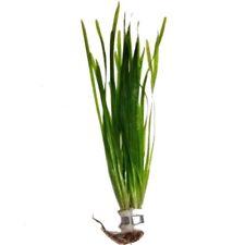 Straight Vallisneria spiralis live vallis aquarium plant