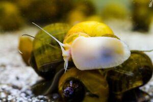 2 x Mystery Snails Mixed Colours, Pomacea bridgesii