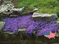 100 CREEPING THYME GROUNDCOVER SEEDS -  PERENNIAL FLOWER - LAVENDAR FALLS