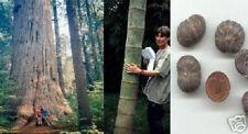 Riesenbaum-Sortiment für drinnen & draussen  auch für Bonsaizwecke geeignet Deko