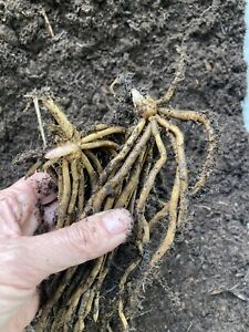 2 x Asparagus Root Crowns 'Connover's Colossal' To Plant (Free UK Postage)