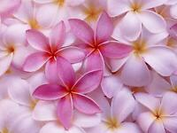 HAWAIIAN PINK PLUMERIA PLANT CUTTING -  9 - 12 IN. LONG UNROOTED