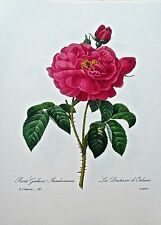 Pierre-Joseph Redoute The DUCHESS D ORLEANS-Red Rose Botanical Print 13x10