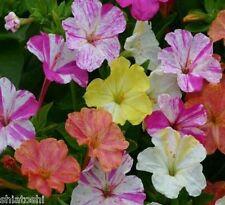Flower:Mix Four 'O'clock 20 seeds Garden Flower S-#5555# + free fungicide