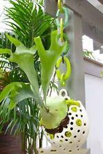 Healthy staghorn Fern-Platycerium  perennials/air plant mounted on coconut shell